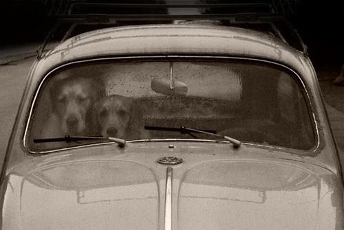 cães-e-fusca