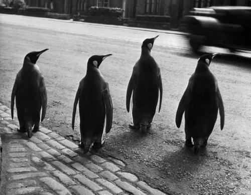 pinguins-werner-bischof