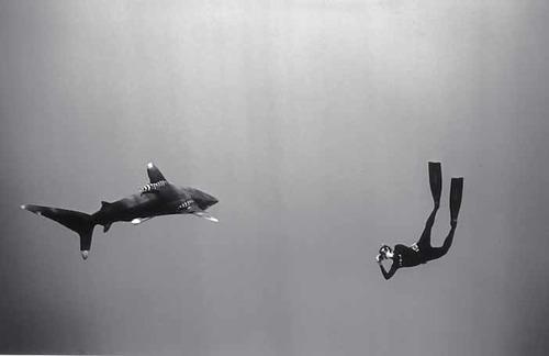 tubarão-e-mergulhador