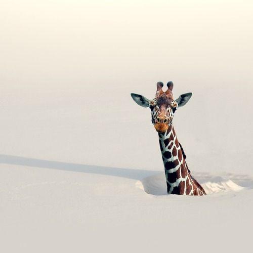 girafa-neve